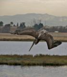 California Brown Pelican diving