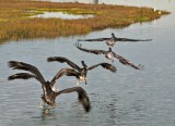 California Brown Pelican (5 in flight)