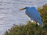 Egret, backlighted in wind