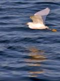 Young Egret in flight