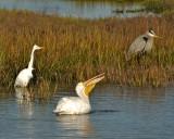 Egret, White Pelican, Blue Heron