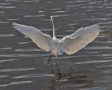 Great Egret in flight (backlighted)