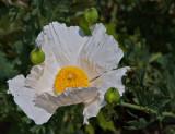 Matillija poppy