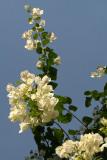 White Bougainvillea
