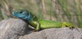 lizard rest.jpg