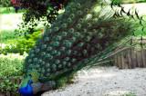 dancing peacock--08 Parc Floral of Paris