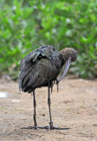 Brown Ibis - Chula Vista Nature Center in San Diego