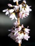 Abeliophyllum or White Forsythia