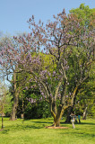 Empress Tree or Paulownia tomentosa