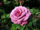 Hierloom Rose