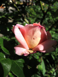Chicago Peace Rose Bud