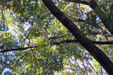 Hawk in an Elm Tree