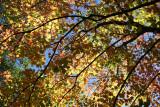 Maple Tree Foliage