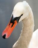 Swan - Central Park Lake