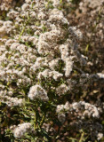 Shakespeare Garden Area - Unknown Flowers