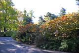 Eastside Entrance to Strawberry Fields - Fothergilla Bushes
