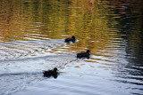 Three Ducks with Late Afternoon Water Reflections