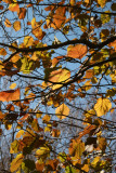 Elm Tree Foliage at the Duck Pond
