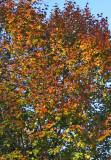 Pear Tree Foliage