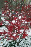 Japanese Red Leaf Maple