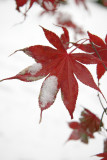 Japanese Red Leaf Maple Foliage