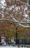 Sycamore Tree Branches & Washington Square North