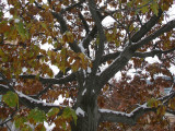 Snow on Oak Tree Foliage