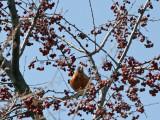 Children's Adventure Garden - Robin in a Crab Apple Tree