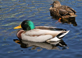Ducks in the Lily Pond
