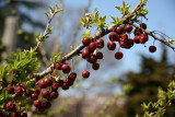 Crab Apple Tree - Last Year's Fruit and Spring Buds
