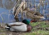Ducks on the Harlem Meer Shore