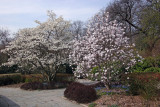 Magnolia Trees - Conservatory Gardens