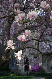 Grace Church Garden - Magnolia Blossoms