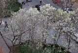 Pear Tree Blossoms - LaGuardia Place Gardens