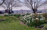 Daffodils - Nelson A Rockefeller Park