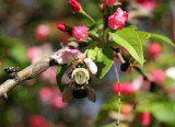 Bee in Crab Apple Tree Blossoms