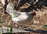 Visiting Hen