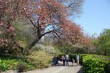 Crab Apple Tree - Garden View
