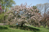 Crab Apple Blossoms - Central Park West near 96th Street