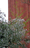 Crab Apple Tree Blossoms & NYU Library