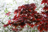 Red Leaf Maple & Crab Apple Tree Blossoms