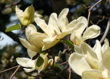 Yellow Magnolia Blossoms - Conservatory Gardens
