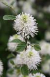 Fothergilla Blossoms