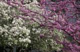Cercis & Crab Apple Tree Blossoms