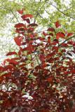 Prunus Foliage