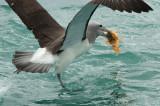 Salvin's albatross 0037