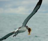 Salvin's albatross 0038