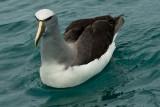 Salvin's albatross 0064