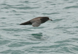 Flesh-footed shearwater 0135