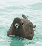 Flesh-footed shearwater 0158